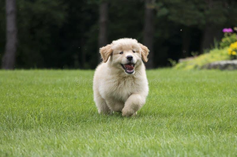 Funzionamento felice del cucciolo di golden retriever fotografie stock
