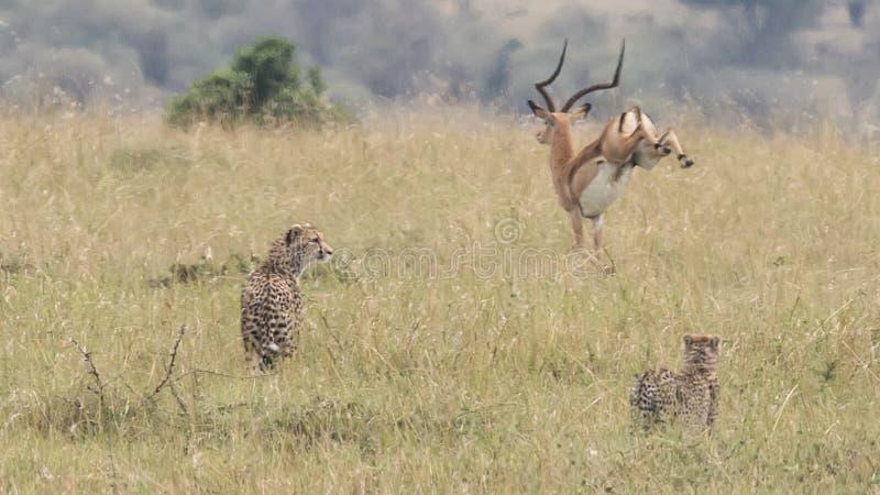 Funzionamento maschio dell'impala a partire dal ghepardo d'inseguimento due in alta erba fotografia stock