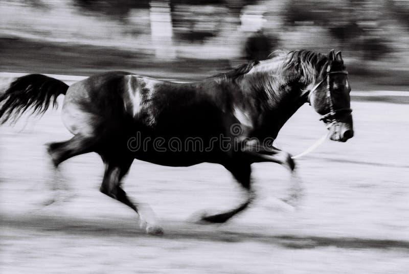 Funzionamento nero del cavallo fotografie stock