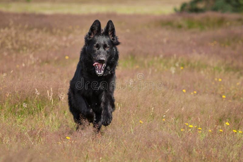 Funzionamento nero del pastore tedesco fotografia stock