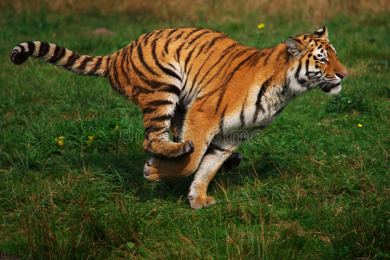 Funzionamento siberiano della tigre fotografia stock libera da diritti