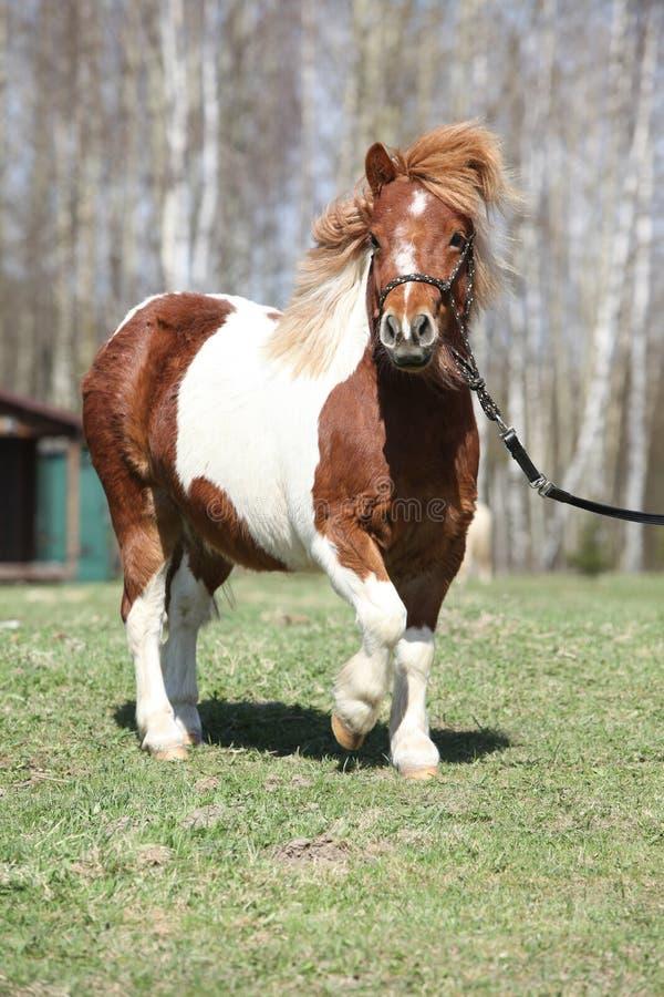 Funzionamento splendido del cavallino di Shetland fotografie stock