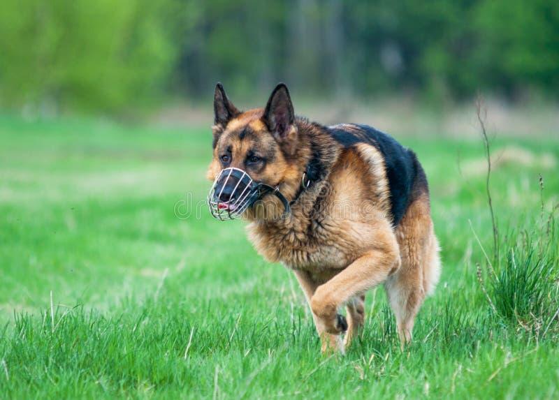 Funzionamento tedesco del cane da pastore della polizia sull'erba immagine stock