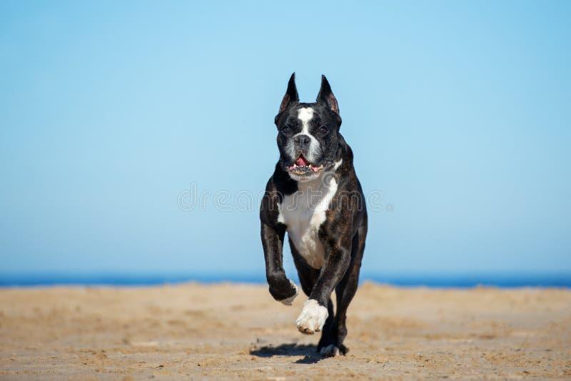 Funzionamento tedesco del cane del pugile sulla spiaggia immagini stock