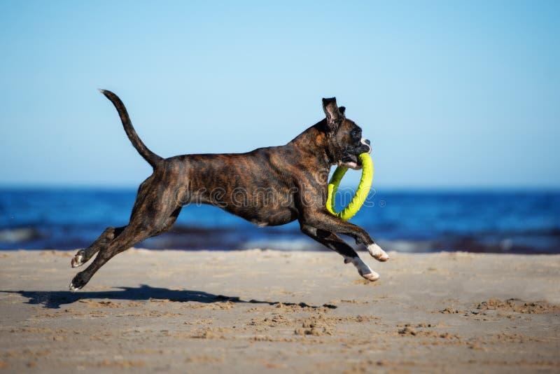 Funzionamento tedesco del cane del pugile sulla spiaggia fotografie stock libere da diritti