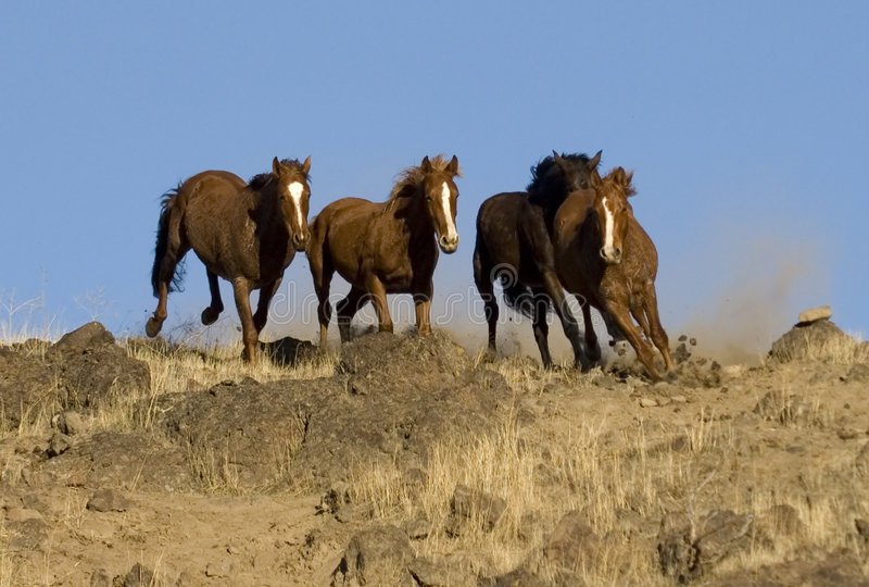 Funzionare dei cavalli selvaggi fotografia stock libera da diritti