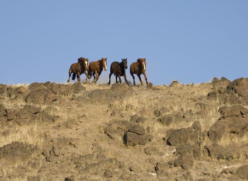 Funzionare dei cavalli selvaggi immagine stock libera da diritti