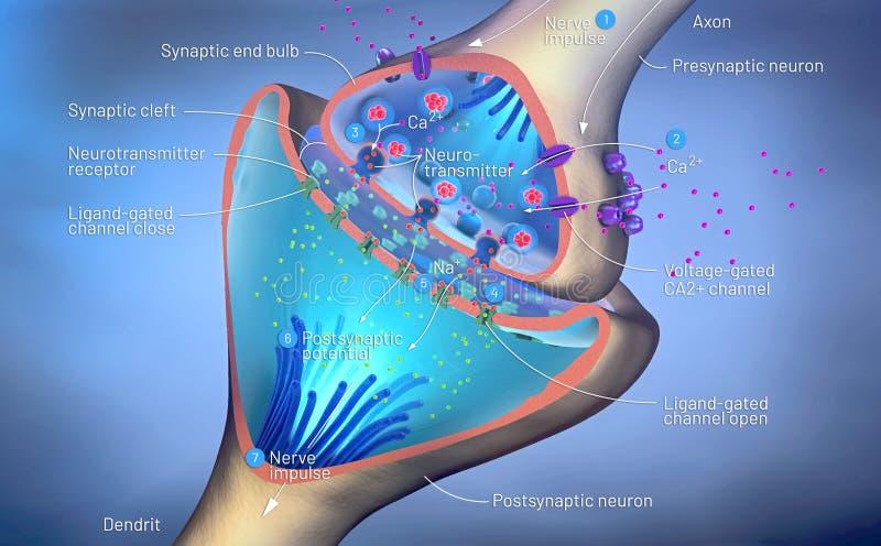 Funzione scientifica di una sinapsi o di un collegamento di un neurone con le cellule nervose illustrazione vettoriale