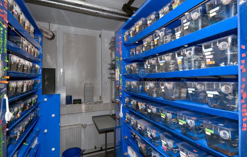 Funzione transgenica dello zebrafish fotografie stock libere da diritti