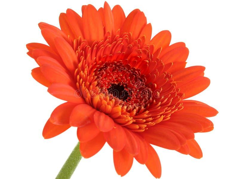 Fuoco arancione profondo della margherita di Gerber nel centro immagine stock