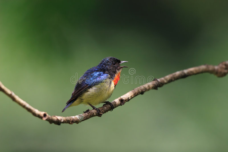 Fuoco-breasted Flowerpecker fotografie stock