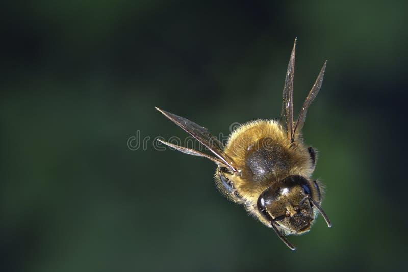 Fuoco della radura dell'ape del miele impilato immagini stock