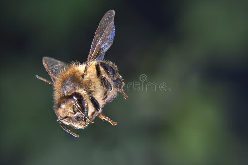 Fuoco della radura dell'ape del miele impilato fotografia stock