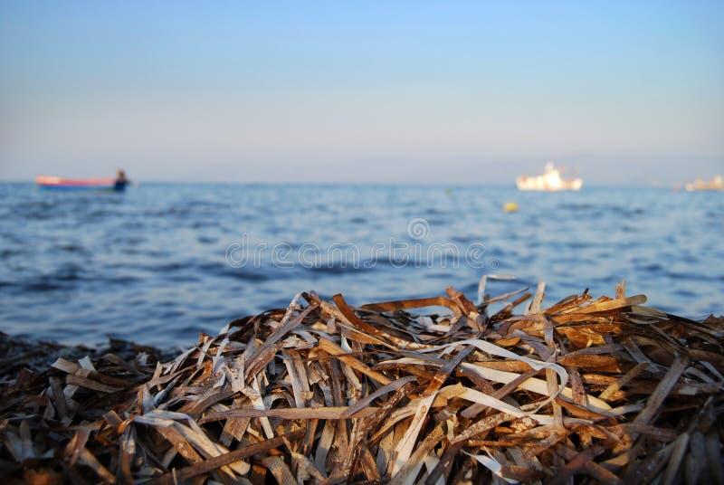 Fuoco di vista di oceano su alga fotografia stock libera da diritti