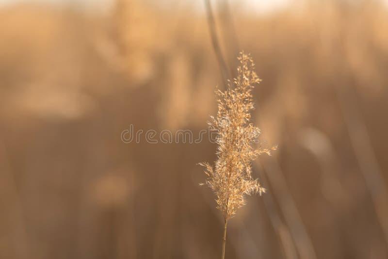 Fuoco molle dei gambi delle canne che soffiano nel vento alla luce dorata di tramonto Esponga al sole i raggi che splendono attra immagine stock libera da diritti