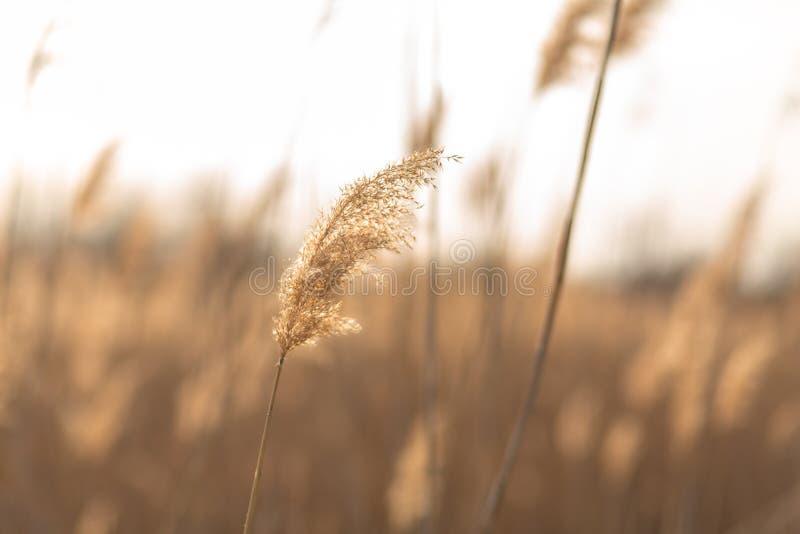 Fuoco molle dei gambi delle canne che soffiano nel vento alla luce dorata di tramonto Esponga al sole i raggi che splendono attra immagine stock