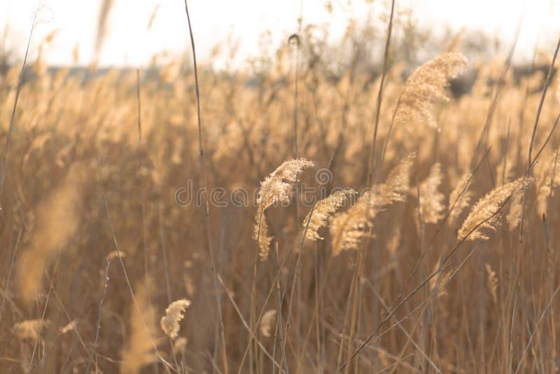Fuoco molle dei gambi delle canne che soffiano nel vento alla luce dorata di tramonto Esponga al sole i raggi che splendono attra immagini stock