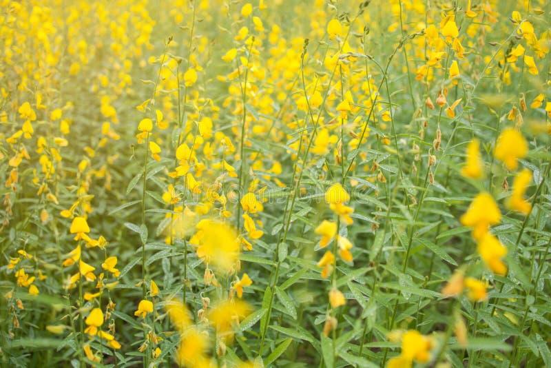 Fuoco molle del giacimento di fiore di fioritura della canapa indiana, pianta della canapa delle indie per il miglioramento del s fotografia stock