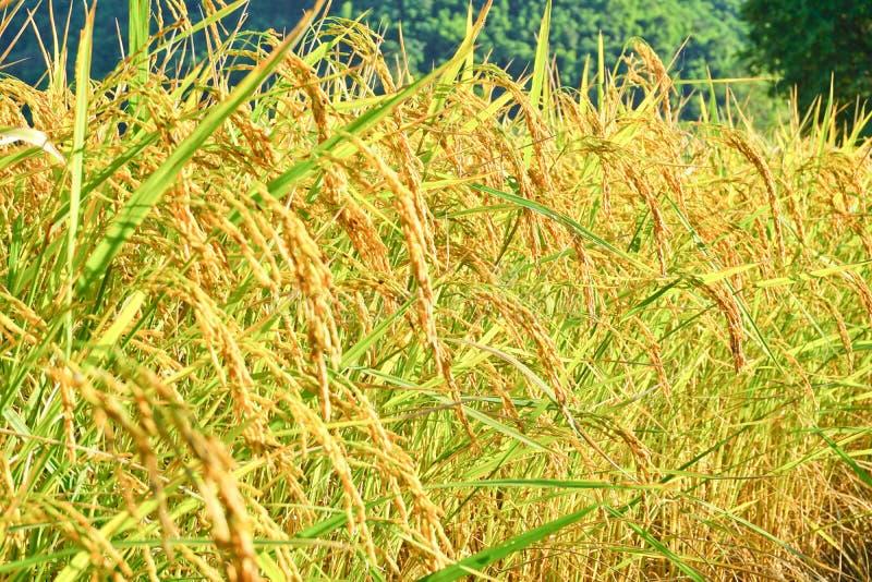 fuoco molle del paesaggio dell'azienda agricola del riso sulla luce di mezzogiorno di giorno immagine stock
