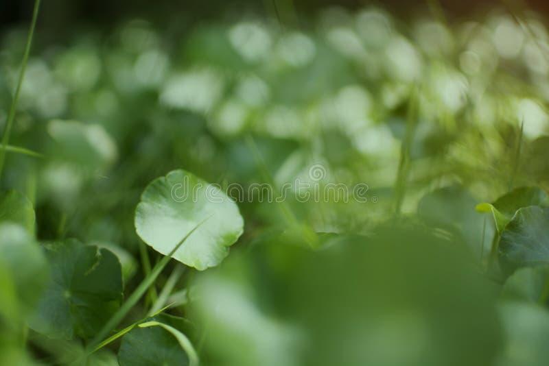 Fuoco molle dell'erba asiatica che cresce nel giardino con il fondo vago del bokeh fotografia stock