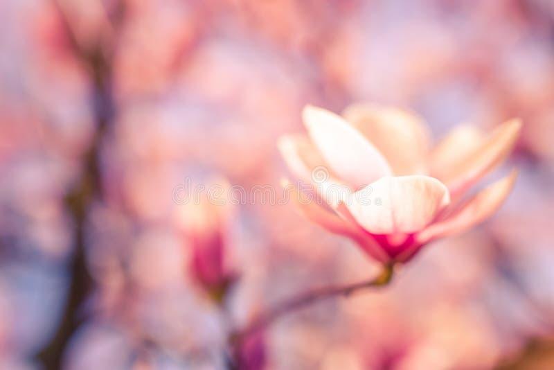 Fuoco molle sul bello fiore della magnolia della molla con fondo vago immagini stock