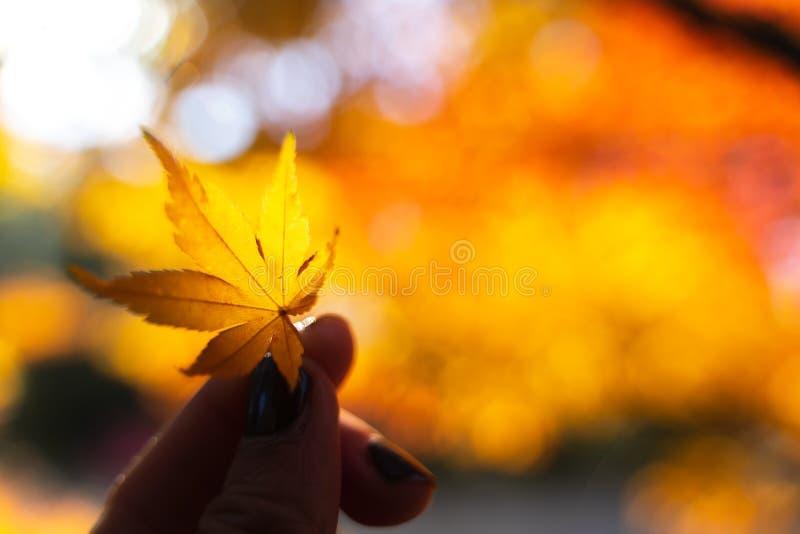 Fuoco molle sulla mano femminile che tiene foglia di acero gialla dorata con bokeh rosso ed arancio in parco pubblico nel Giappon fotografia stock