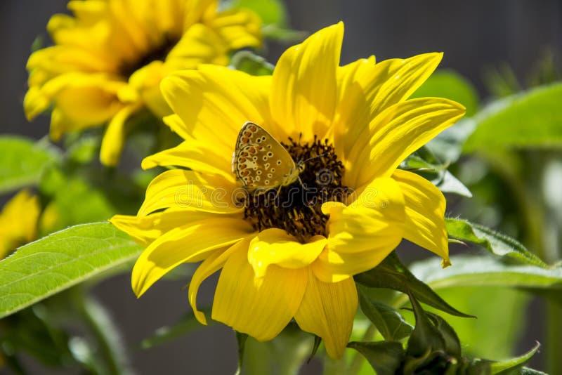 Fuoco selettivo decorativo della farfalla e del girasole fotografia stock