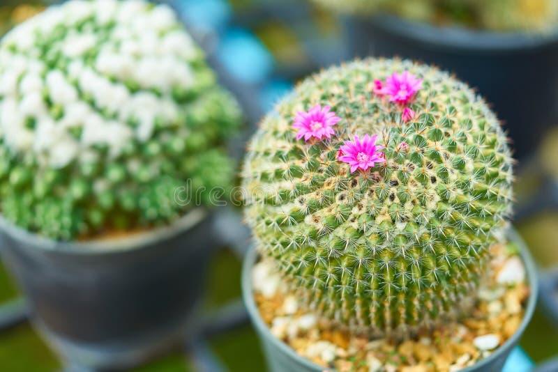 Fuoco selettivo del cactus a forma di rotondo verde con i piccoli fiori porpora luminosi svegli e lo sharp fotografia stock