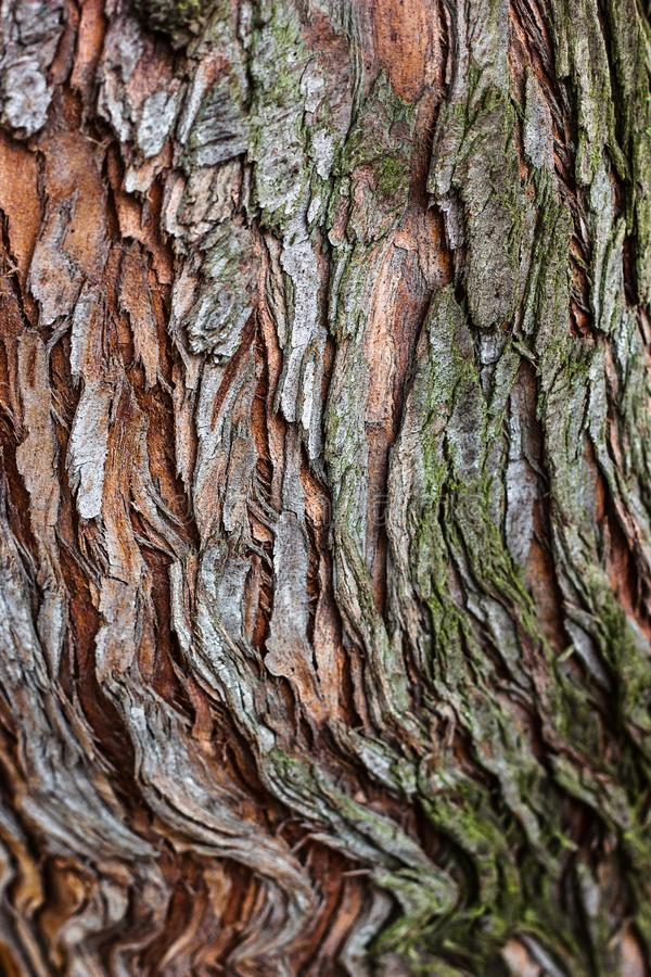 Fuoco selettivo del primo piano di struttura della corteccia di albero Uso del legno della corteccia di Brown come sfondo natural fotografie stock