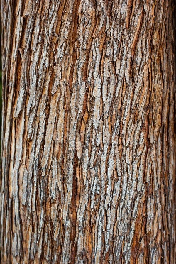 Fuoco selettivo del primo piano di struttura della corteccia di albero Uso del legno della corteccia di Brown come sfondo natural immagini stock libere da diritti