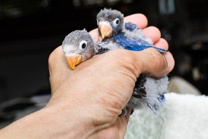 Fuoco selettivo di piccioncino del pappagallo del bambino della tenuta della mano fotografia stock