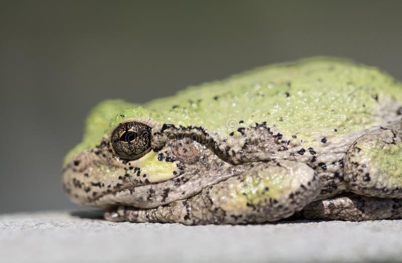 Fuoco stretto sull'occhio della rana toro o della rana fotografia stock