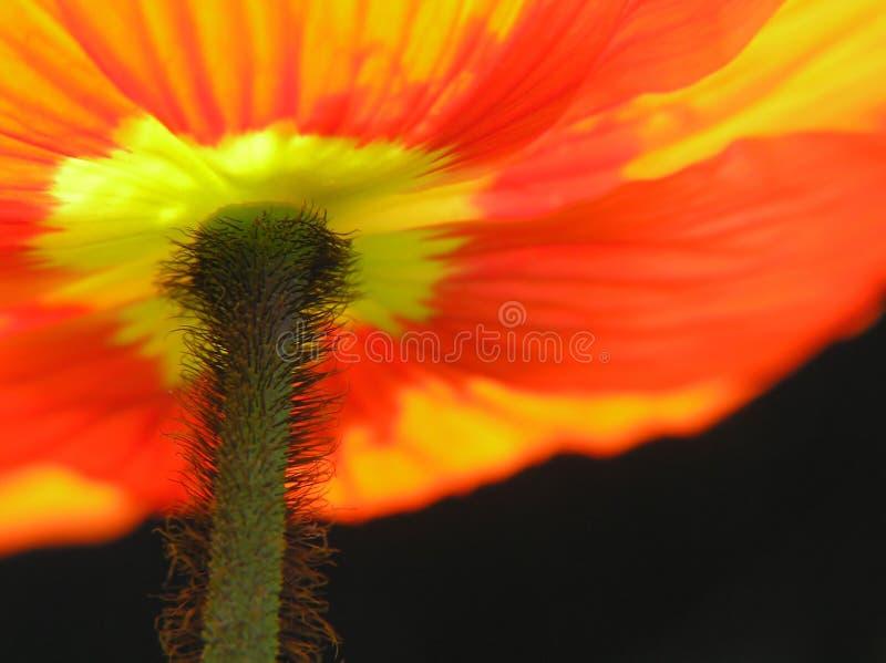Fuori del papavero rosso fotografia stock