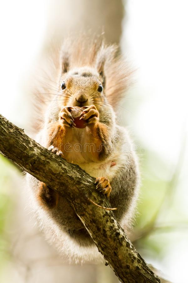 Fur animal squirrel sitting on a tree branch royalty free stock photography