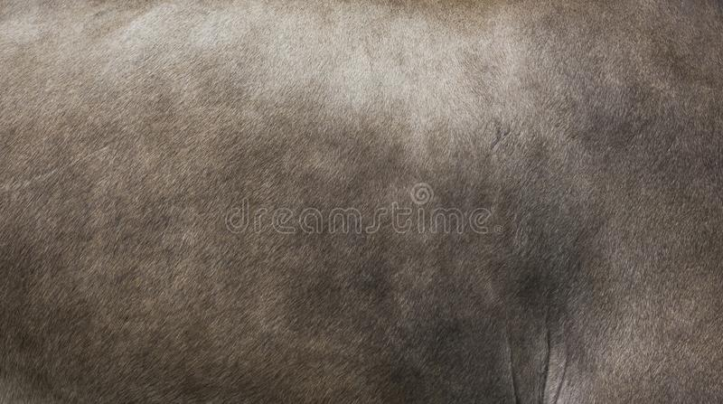 Fur of Appenzell Cow. Fur of cow in Appenzell, Switzerland royalty free stock images