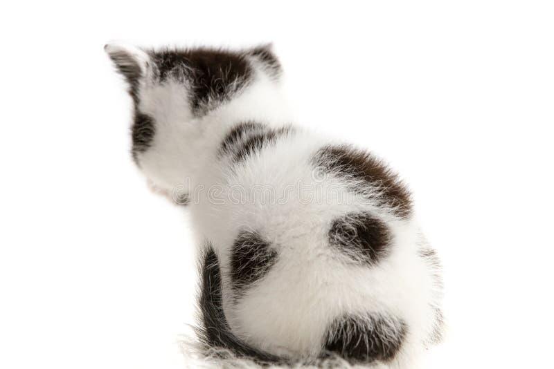 Fur kitten sitting back royalty free stock images