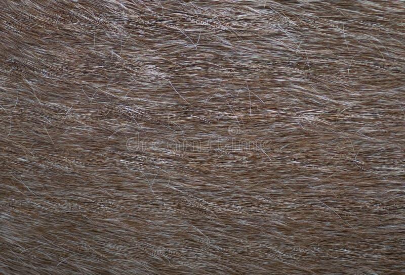Fur leather texture closeup, horse. Horse fur texture. Fur leather texture closeup, horse royalty free stock photography