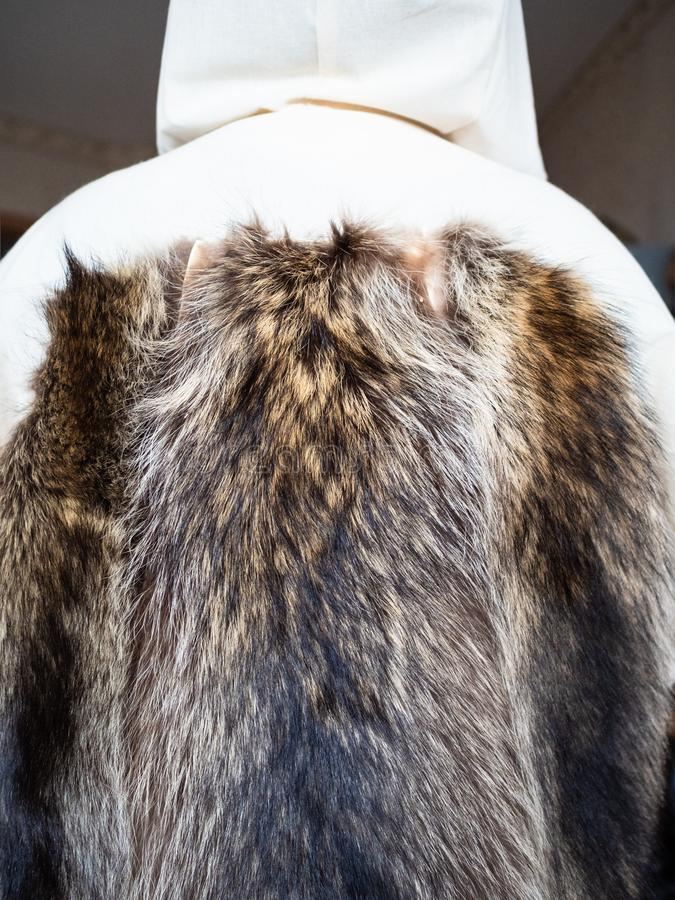 Fur pelts sewn to the coat layout on mannequin. Workshop of manufacturing of coats from raccoon fur - fur pelts sewn to the coat layout on tailor mannequin stock image
