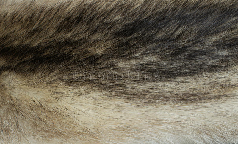 Fur of a raccoon royalty free stock image