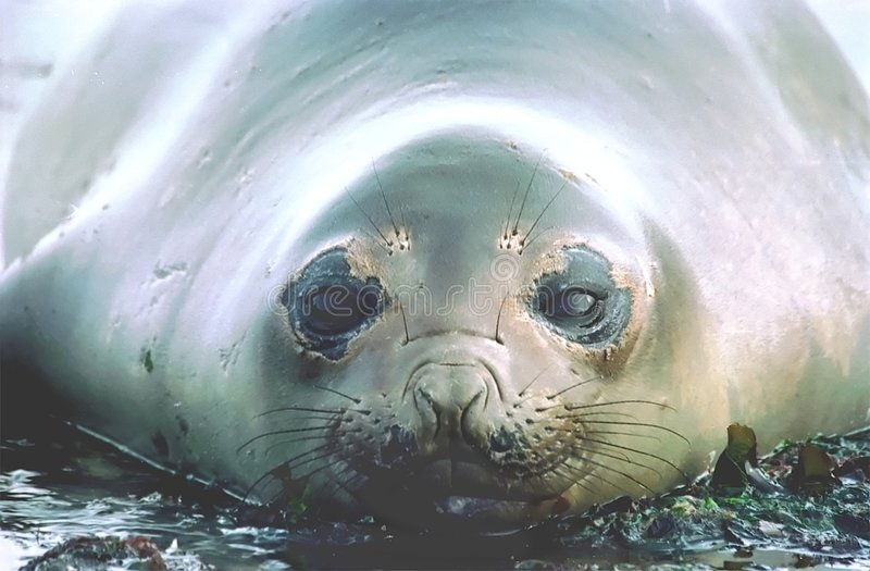 Fur Seal. A close-up of a fur seal on a beack royalty free stock images
