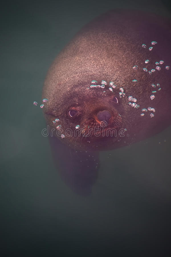 Download Fur seal stock image. Image of creature, water, breath - 28937341