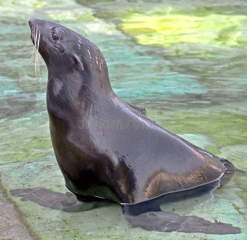 Fur seal 3. Fur seal. Latin name - Callorhinus ursinus stock images
