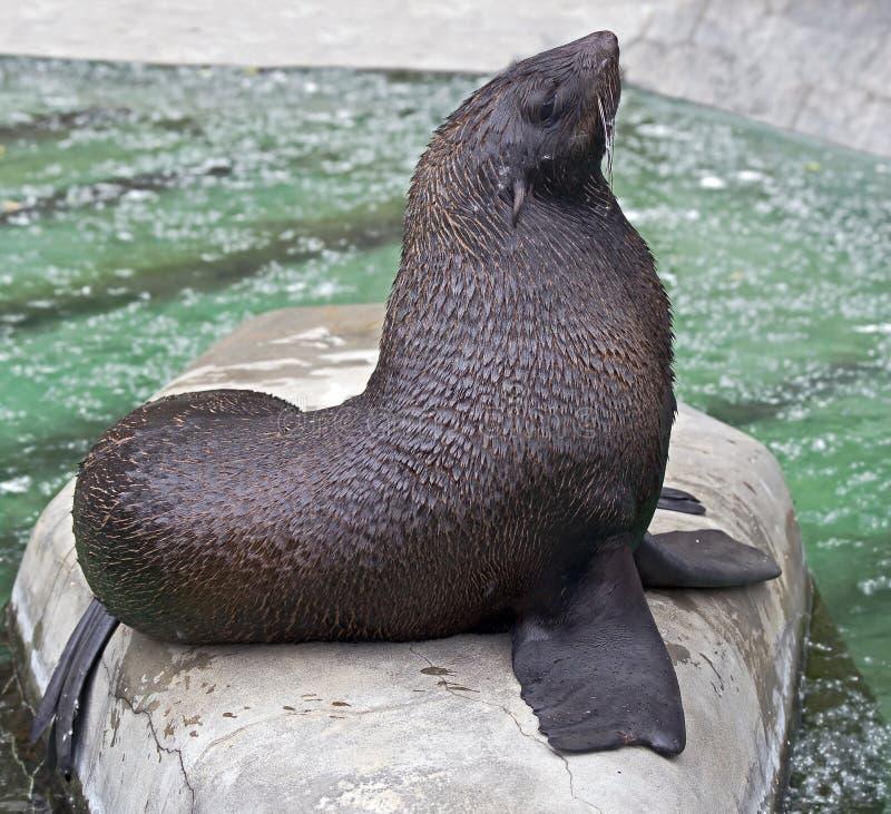 Free Fur Seal 4 Royalty Free Stock Images - 25960689