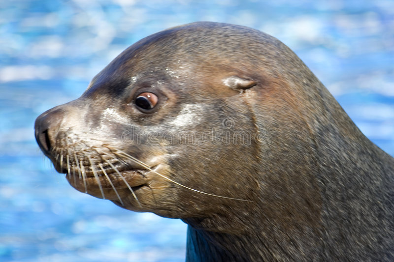 Fur seal 7. Nice and dangerous fur seal lives in zoo stock photos