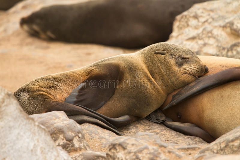 Fur seal baby. Suckling, Cape Cross, Namibia royalty free stock photos