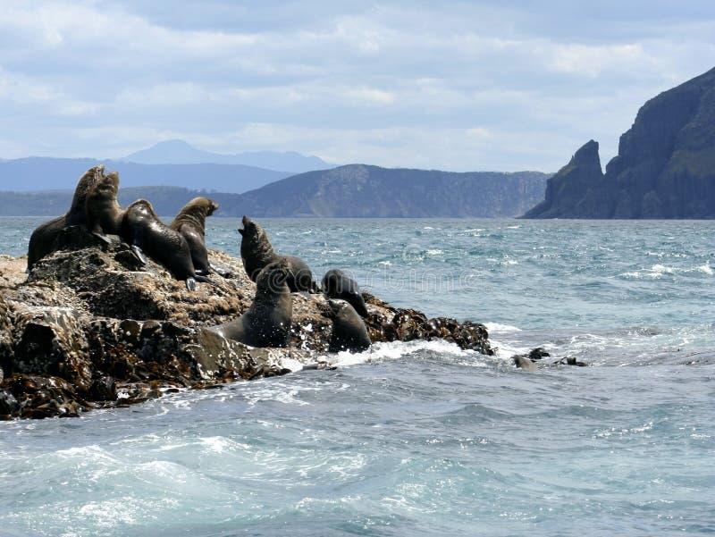 Fur Seal Bulls & Cows, Tasmania, Australia Stock Photos