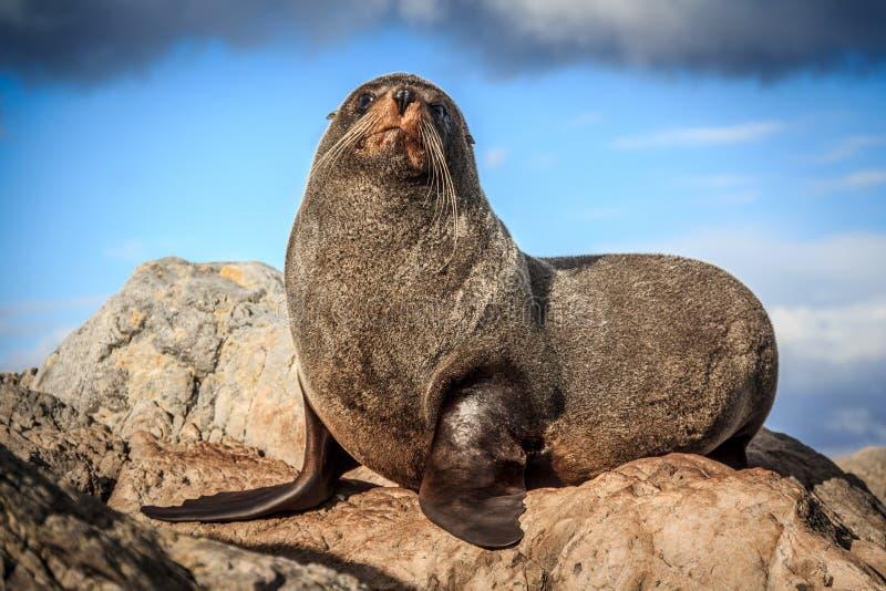 Fur seal at the coast. New Zealand, North Island, Wellington stock image