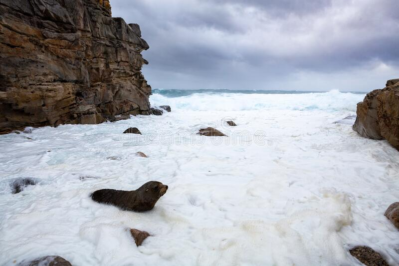 Fur seal comes ashore among wild seas big swells royalty free stock image