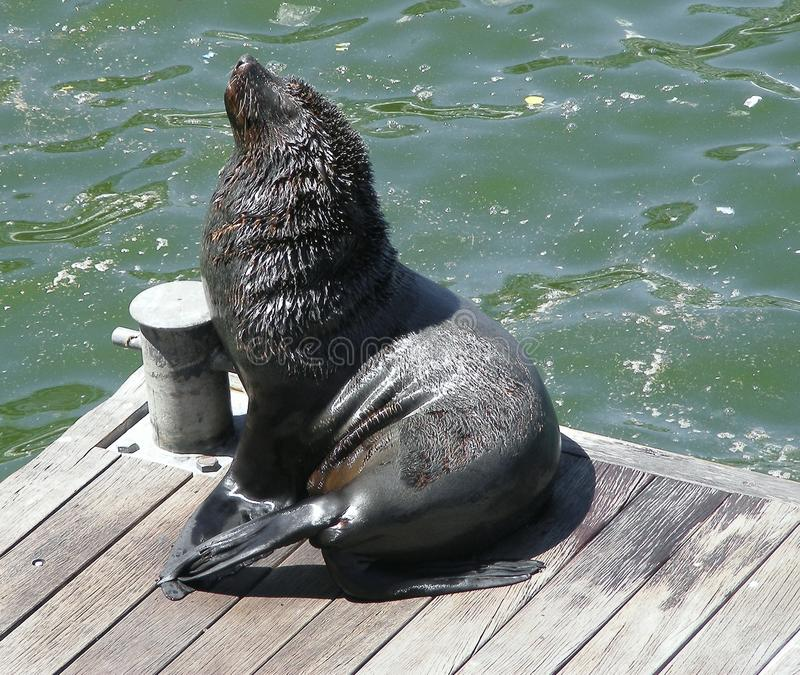 Fur seal itch. A Cape fur seal on a wooden jetty at Cape Town waterfront gets rid of an itch it has stock photography