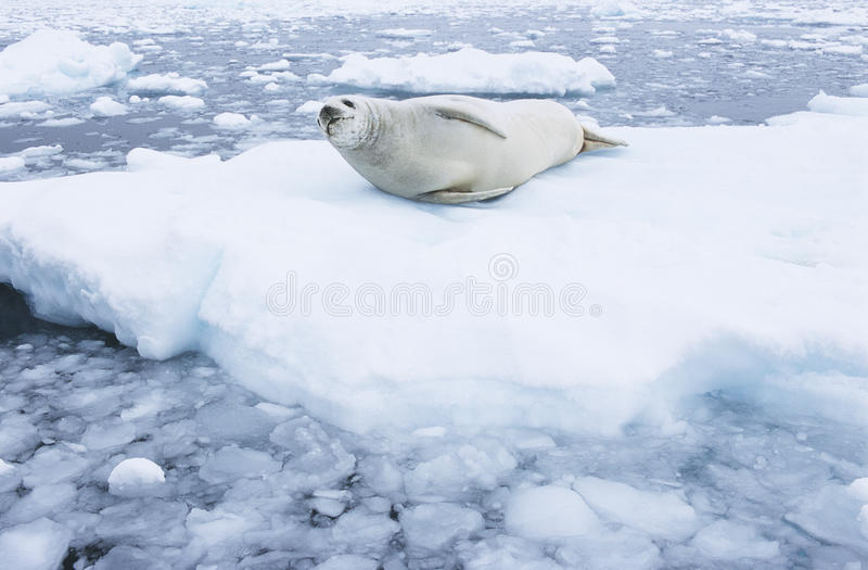 Download Fur Seal Lying On Ice Flow Stock Images - Image: 30846184